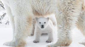 Do Polar Bears Have White Fur?