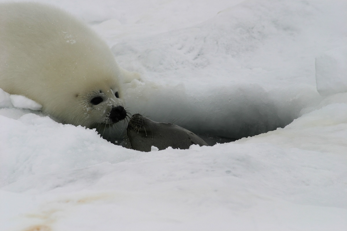 A seal pup and mother at a breathing hole.