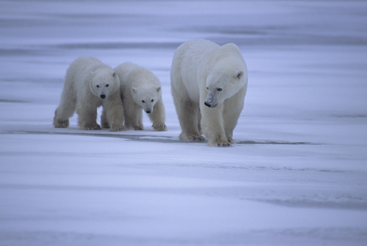 A warming Arctic threatens both wildlife and traditional ways of life in Arctic communities. A polar bear with two cubs.