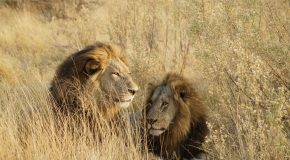 Wildlife Photo of the Week: Lion Brothers
