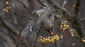 Wildlife Photo of the Week: Waxwing