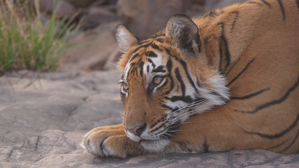 Bengal tiger in India.