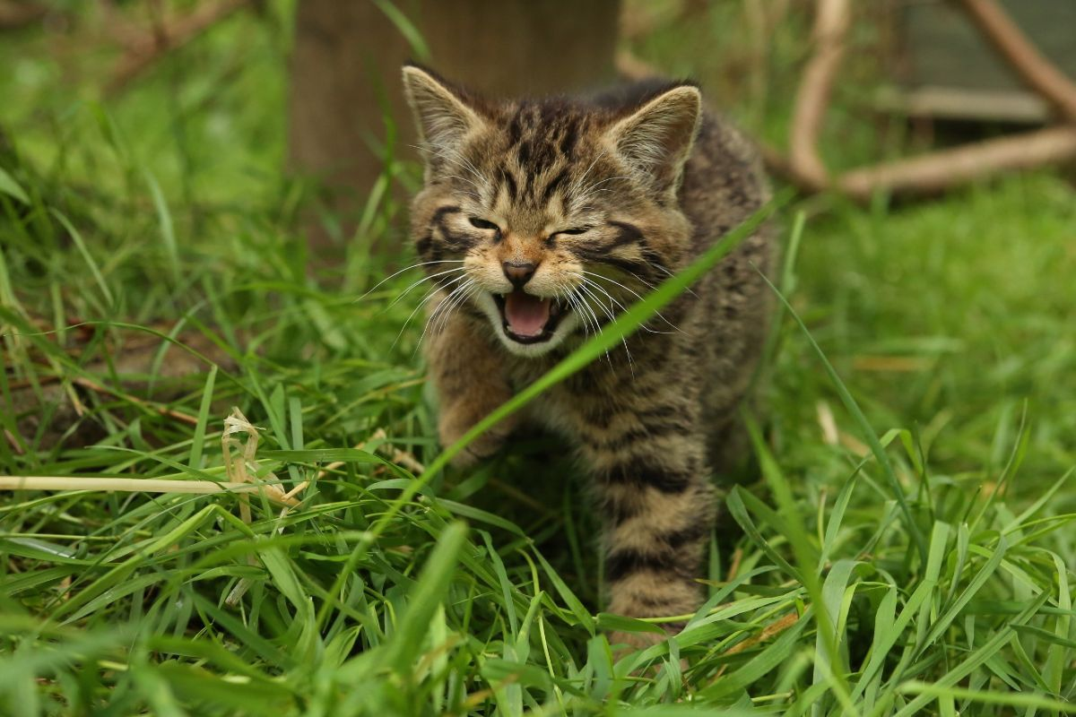 Scottish wildcat kittens at the Aigas Field Center in Scotland.