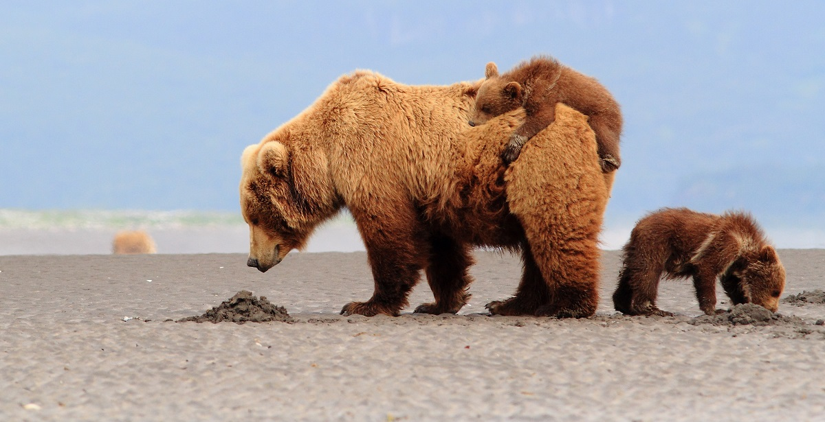 Brown bears in Alaska digging for clams on the tidal flats.