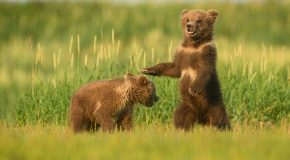 Coastal Bears of Katmai
