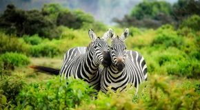 The Coolness of Zebra Stripes