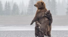 What's the Difference Between Grizzly Bears <br> and Brown Bears?