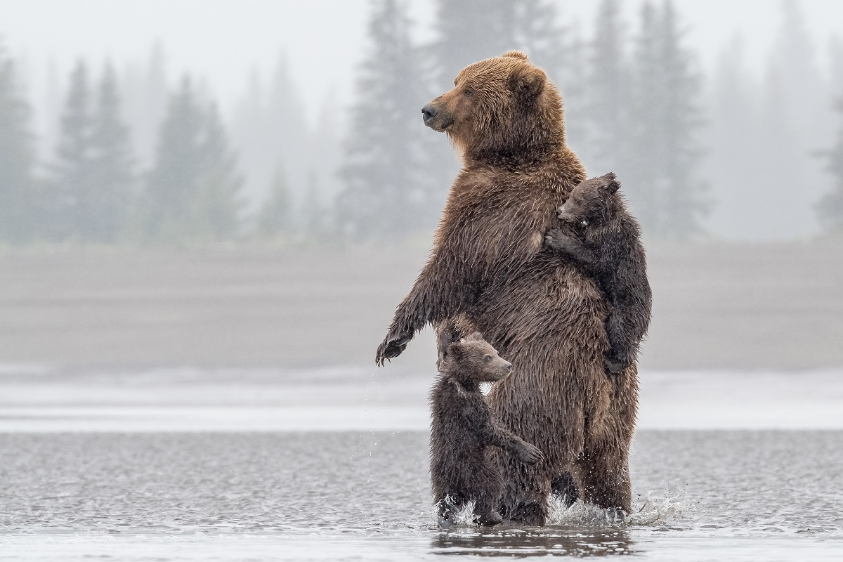 Brown bear in Alaska with cubs.