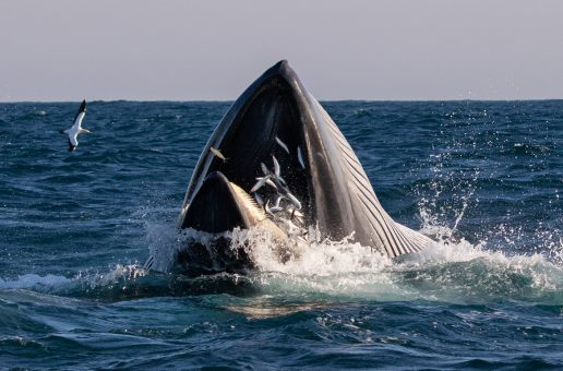 Wildlife Photo of the Week: Whale Feasting on Sardines