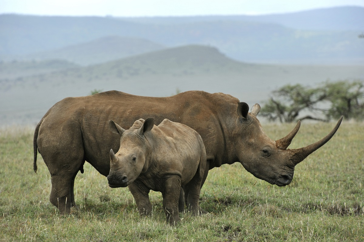 A rhino with its baby in Africa.