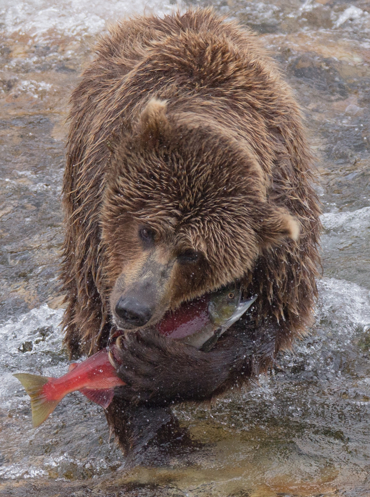 Brown bear catches a salmon in Alaska.