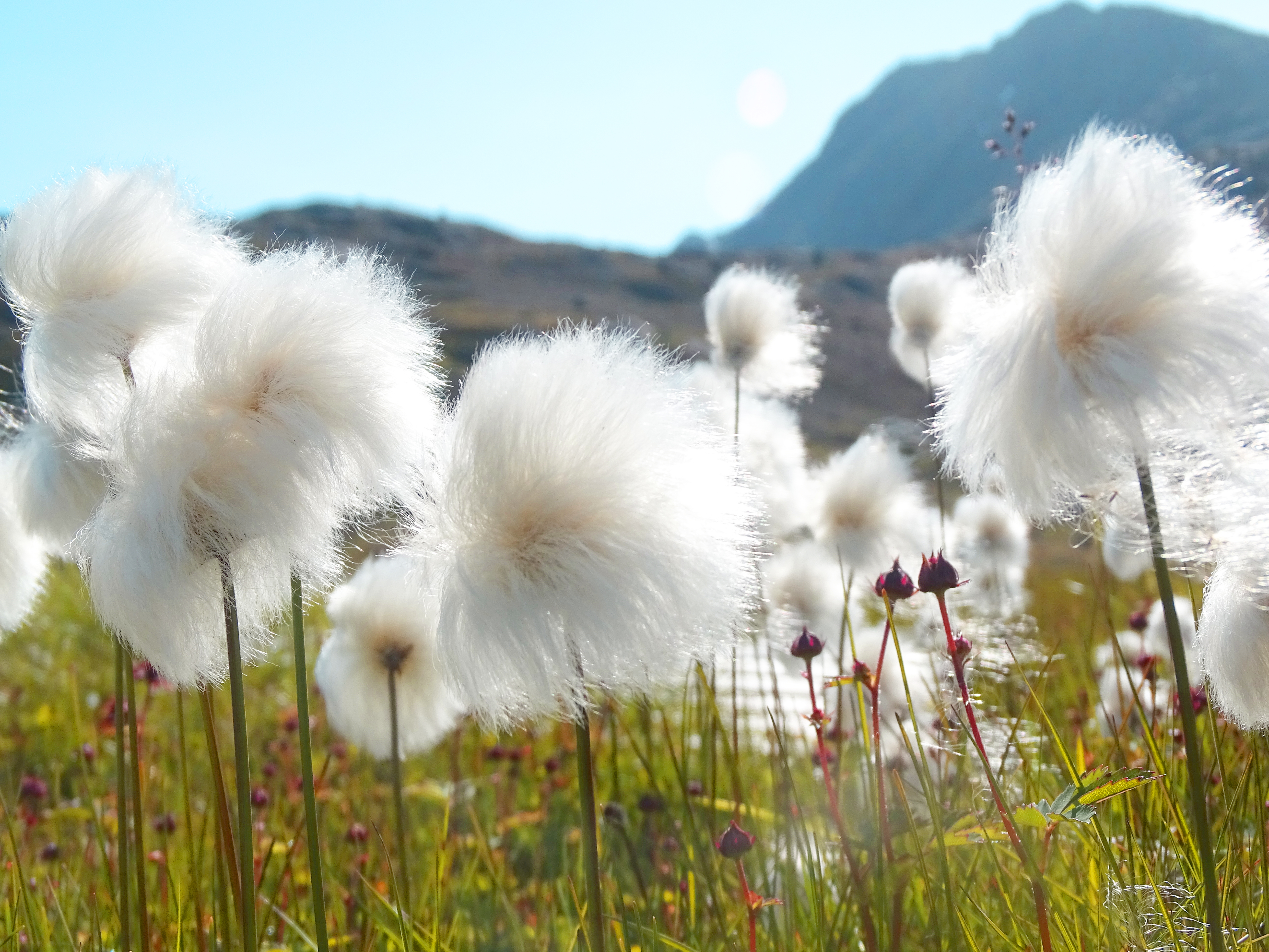 cottongrass on East Greenland tundra