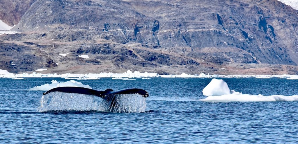 A whale tail and icebergs in Greenland.