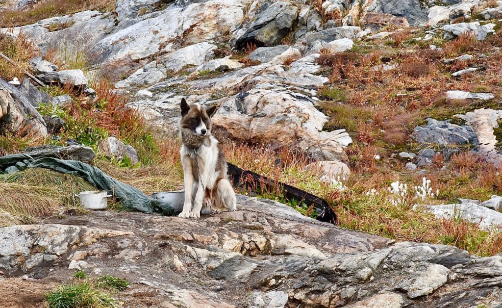Dog in Greenland.