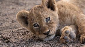 Wildlife Photo of the Week: Cuddly Lion Cub
