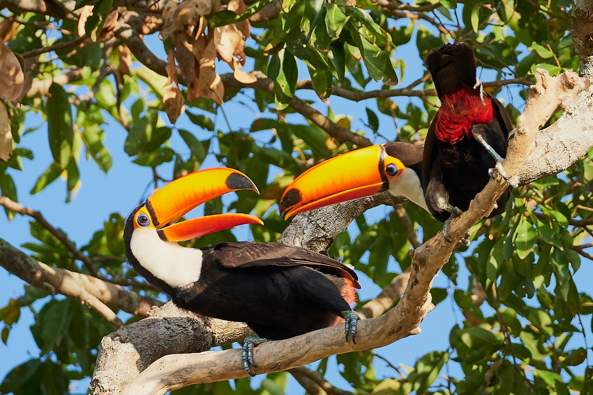 Toco Toucan Pair, Hotel Porto Jofre, north Pantanal