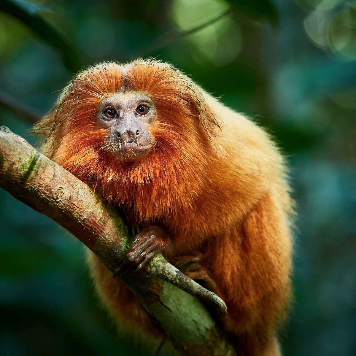 Golden Lion Tamarin, Golden Lion Tamarin Conservation Project