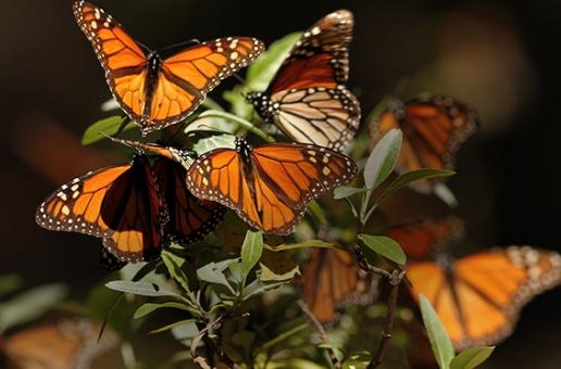 On Thanksgiving 2019, Counting Bounty in Butterflies