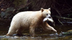 Wildlife Photo of the Week: Spirit Bear