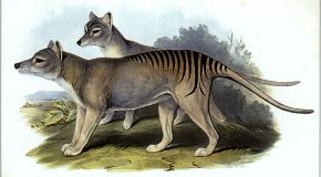 Tasmanian Tiger: Alive or Extinct?
