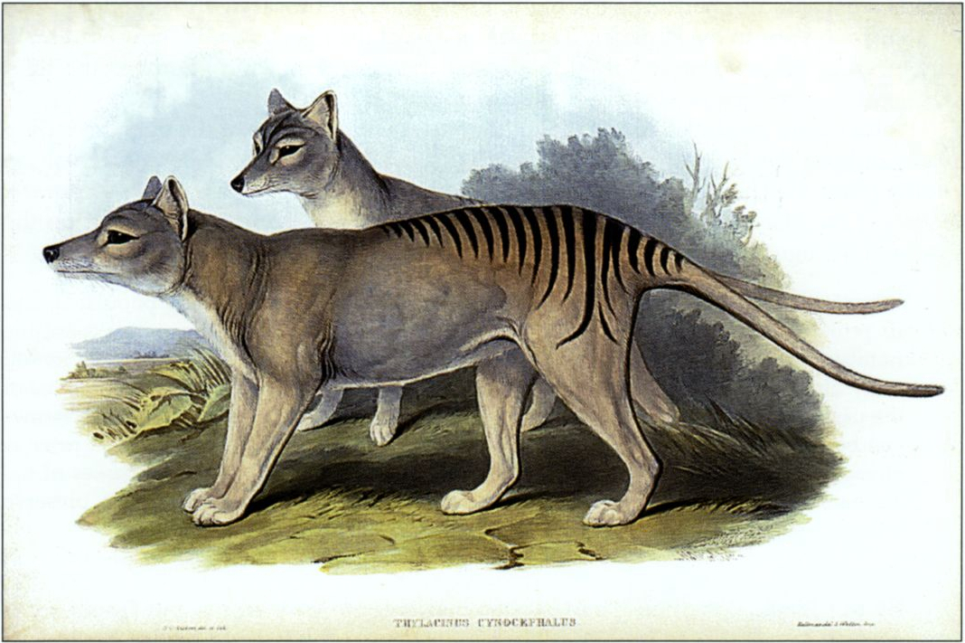 Illustration of Tasmanian tigers.