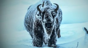 Wildlife Photo of the Week: Winter in Yellowstone