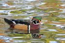 Wildlife Photo of the Week: Wood Duck