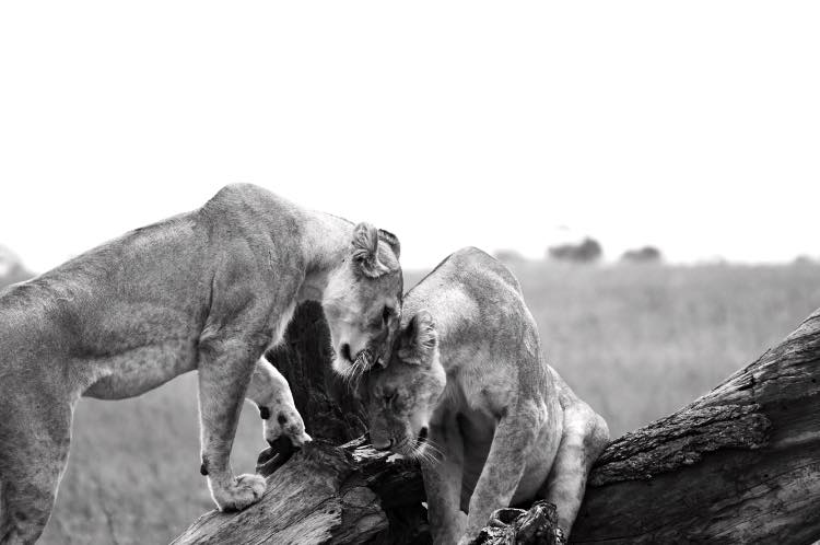 Two lionesses greet each other in the Serengeti, Tanzania.