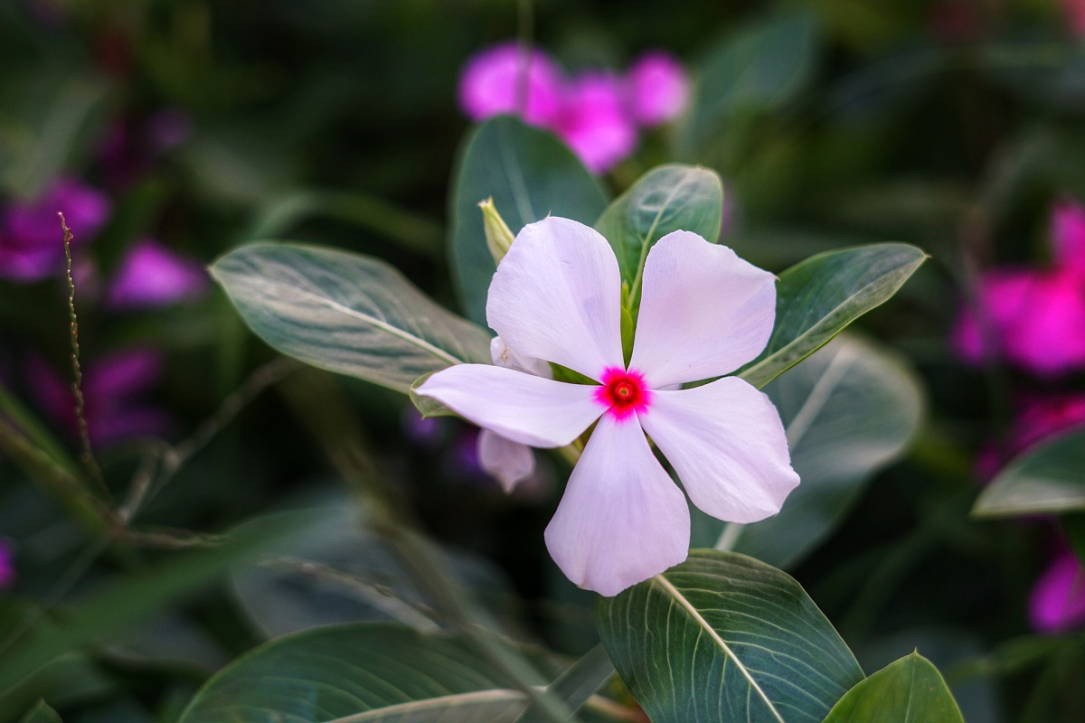 The Madagascar Periwinkle