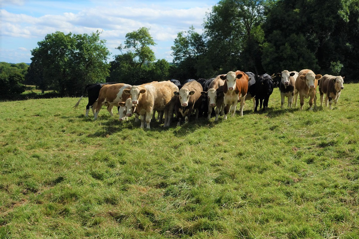 Cows in a meadow in the Cotswolds, England.