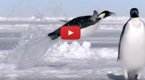 Video: Emperor Penguins' Big Air Down South