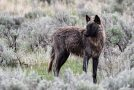 Wildlife Photo of the Week: Wolf in the Wild