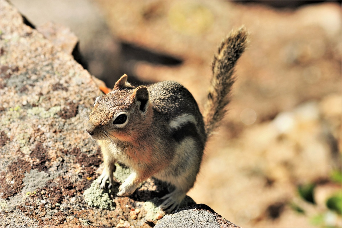 Golden mantled ground squirrel in Bryce Canyon National Park.