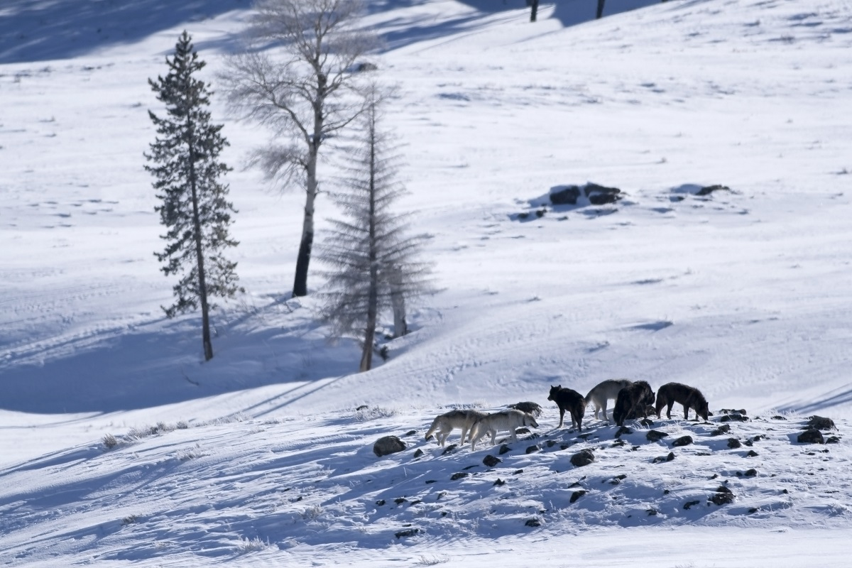 Wolves in winter hunting in Yellowstone.
