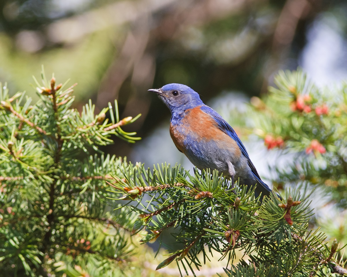 Blue bird in Bryce Canyon National Park.