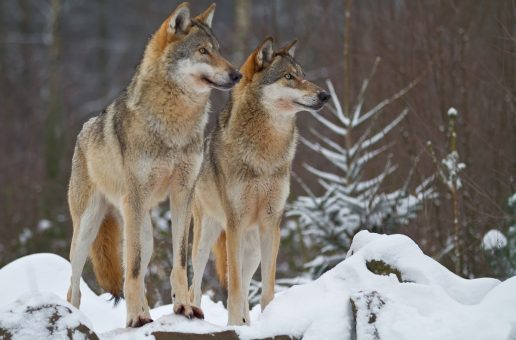 Keeping Wolves at the Door: The Economic Benefits (and Struggles) of Wolves in Yellowstone