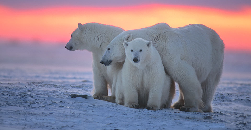 Polar bears at sunset in Churchill.