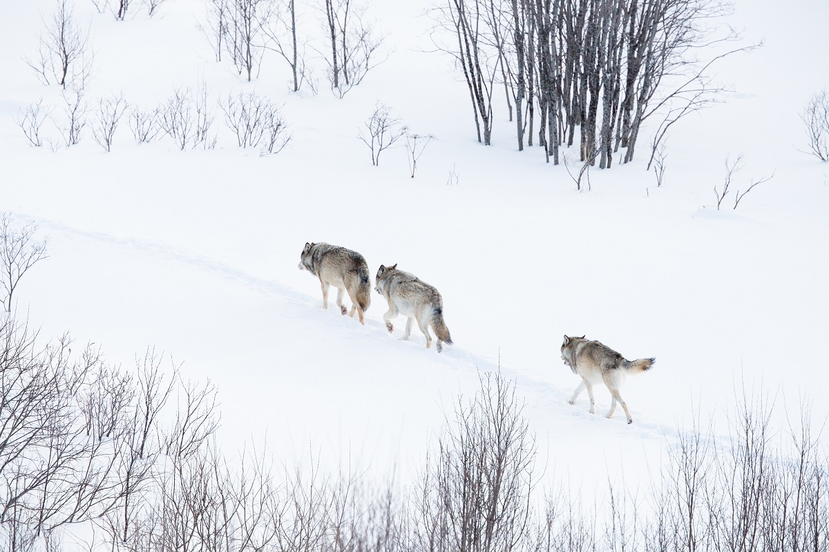 Wolves in Yellowstone during the winter.