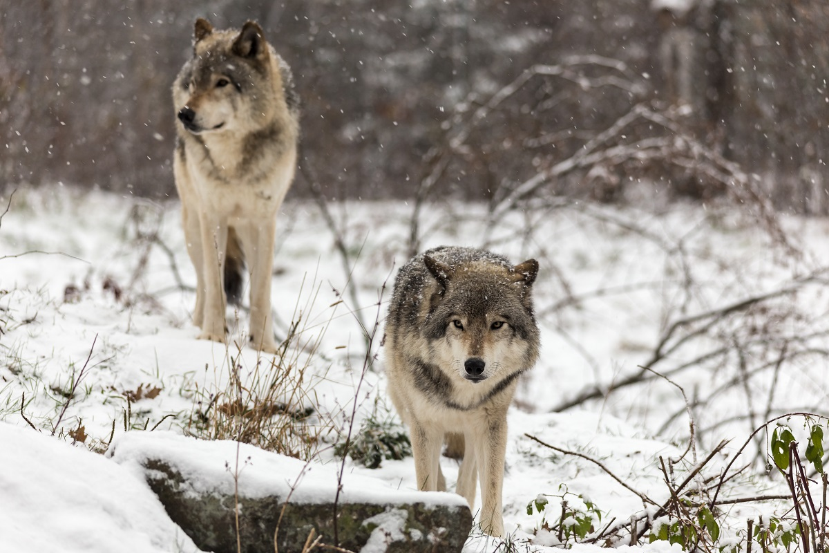 Wolves in winter in Yellowstone.
