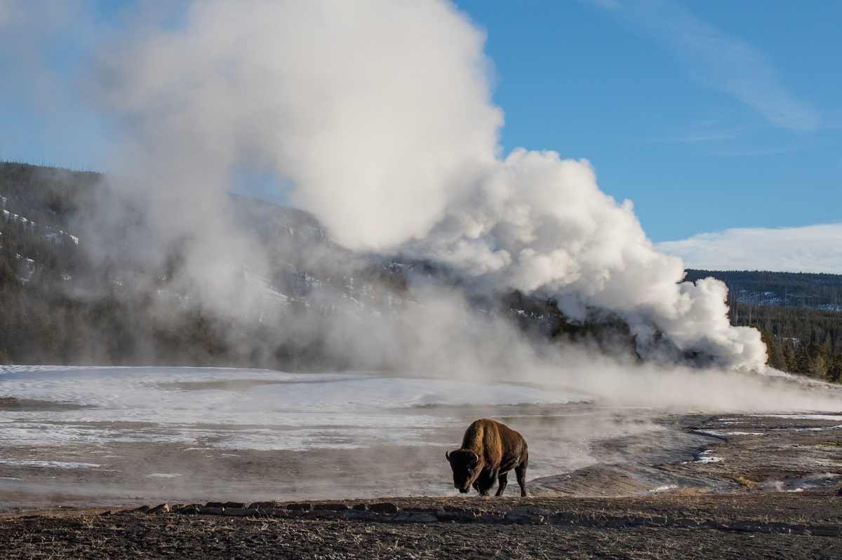 Bison in Yellowstone National Park in front of a geyser.