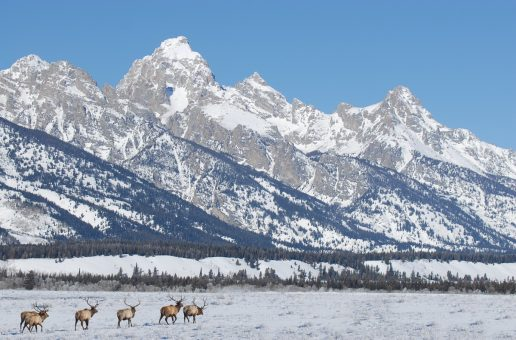 Elk Management in the Greater Yellowstone Ecosystem