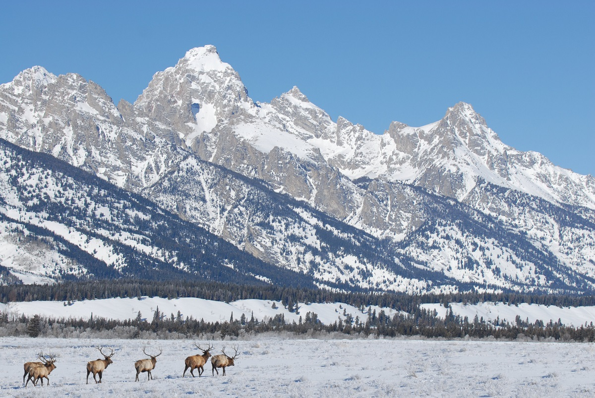 Elk in the Grand Tetons during winter.