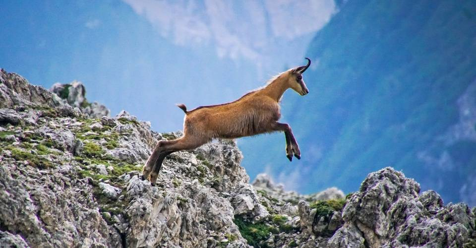Chamois prancing over the Dolomites.