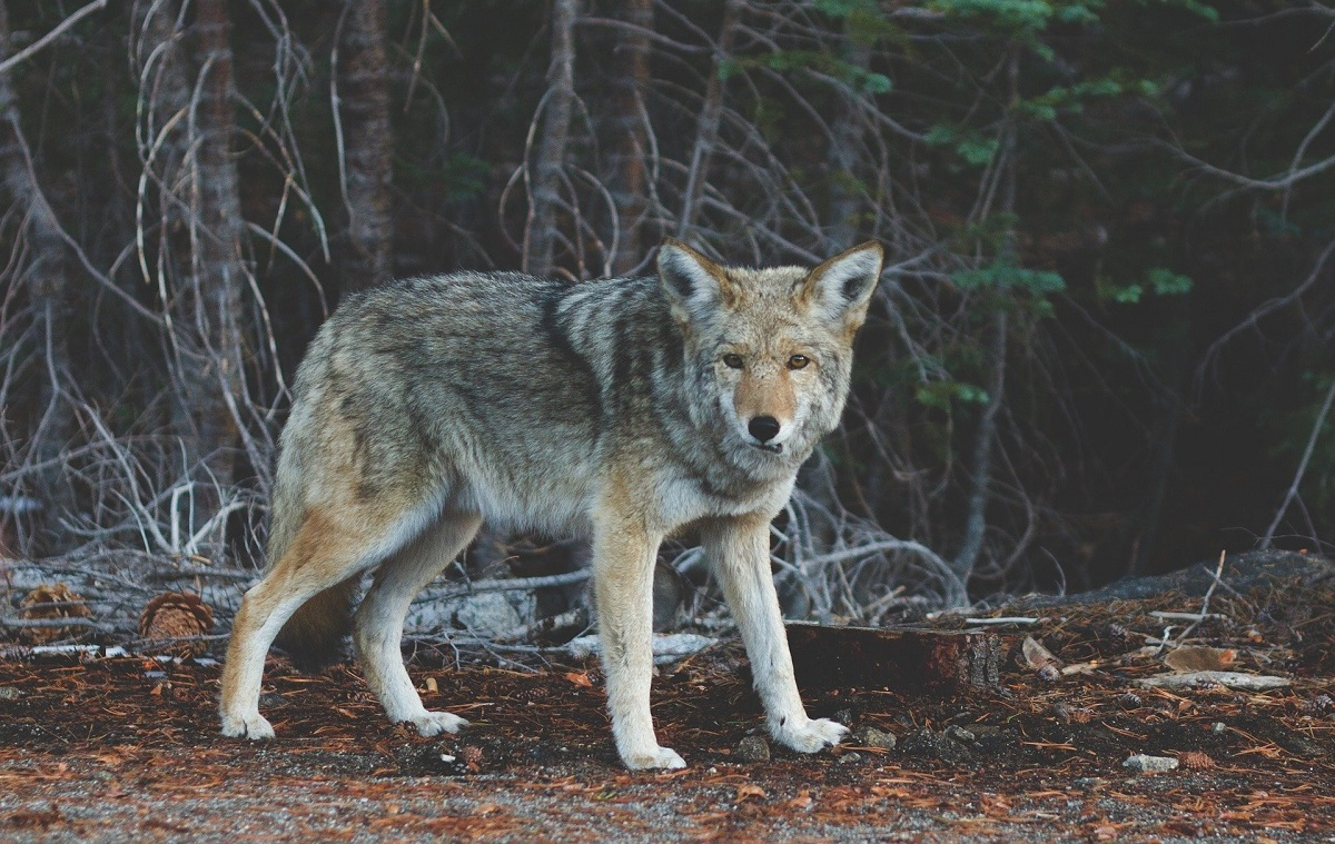 Coyote in the forest.