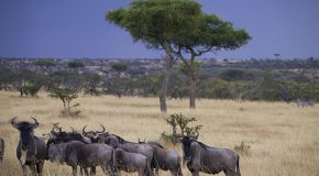 Six Fascinating Facts About the Wildebeest Migration Across the Serengeti