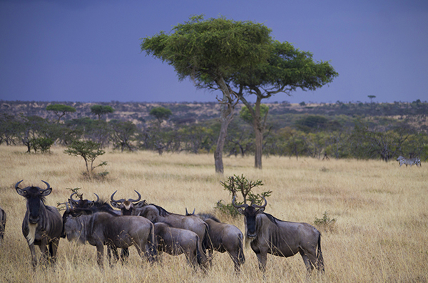Wildebeest in Africa