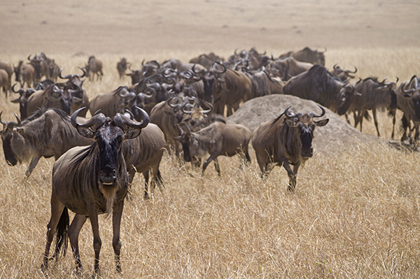 Wildebeest wandering across the savanna during the Great Migration