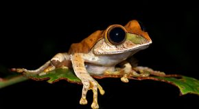 The New Mini Frogs of Madagascar