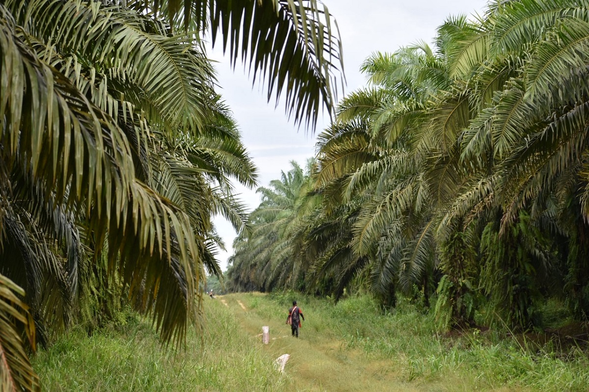 Palm oil plantation in Borneo.