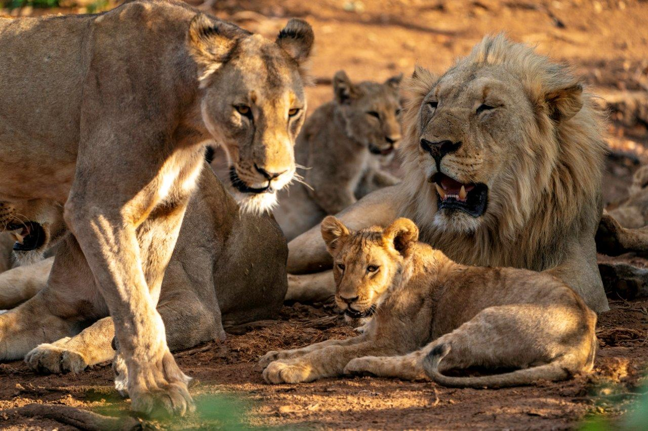 A lion family in Namibia